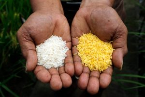 Normal Rice Vs Golden Rice